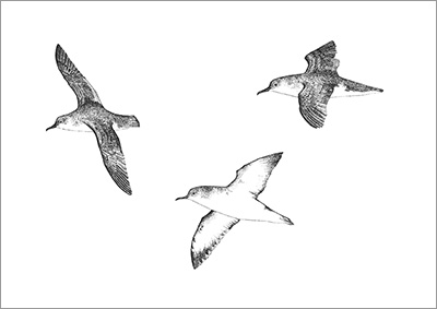 SHOP small Manx Shearwaters